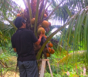 picking coconuts in the jungle