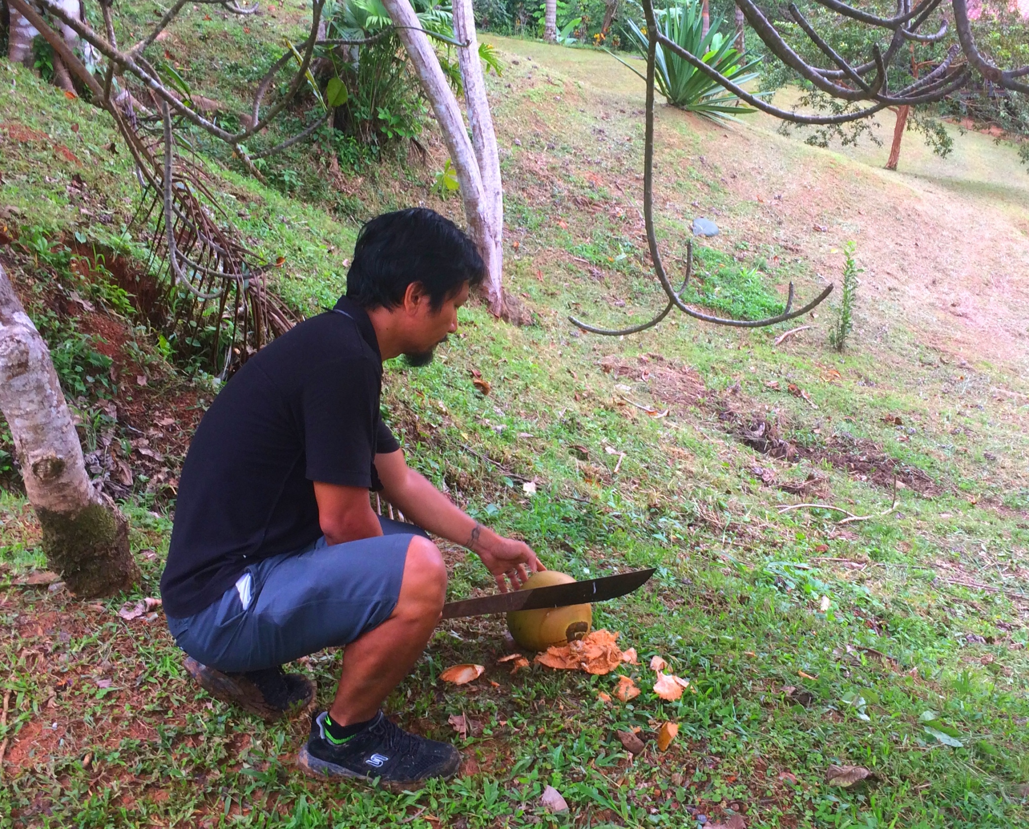 fresh coconuts in the jungle