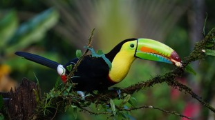 keel-billed-toucan-1021048_12801