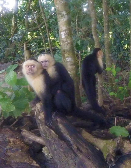Monkeys in Manuel Antonio Park