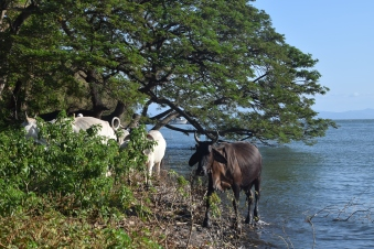 cattle on Ometepe
