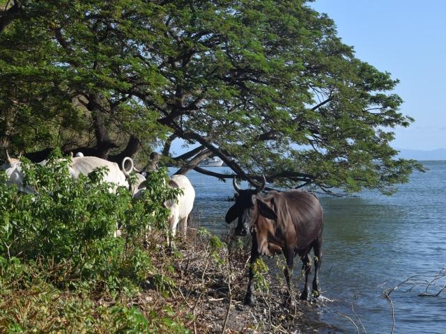 cattle on Ometepe