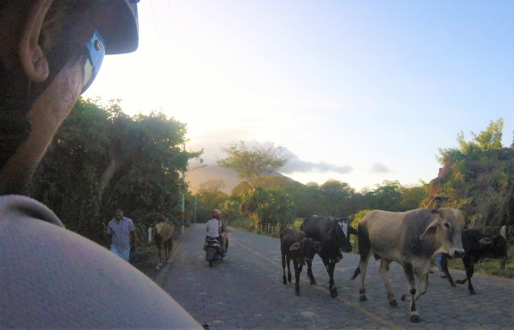 cattle on the road in Ometepe