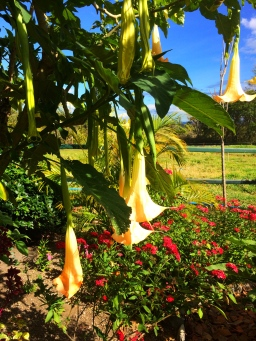 trumpet flowers in Boquete Panama