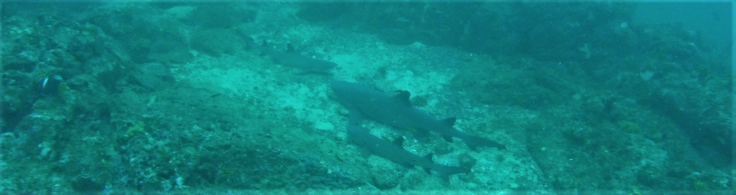 shark202