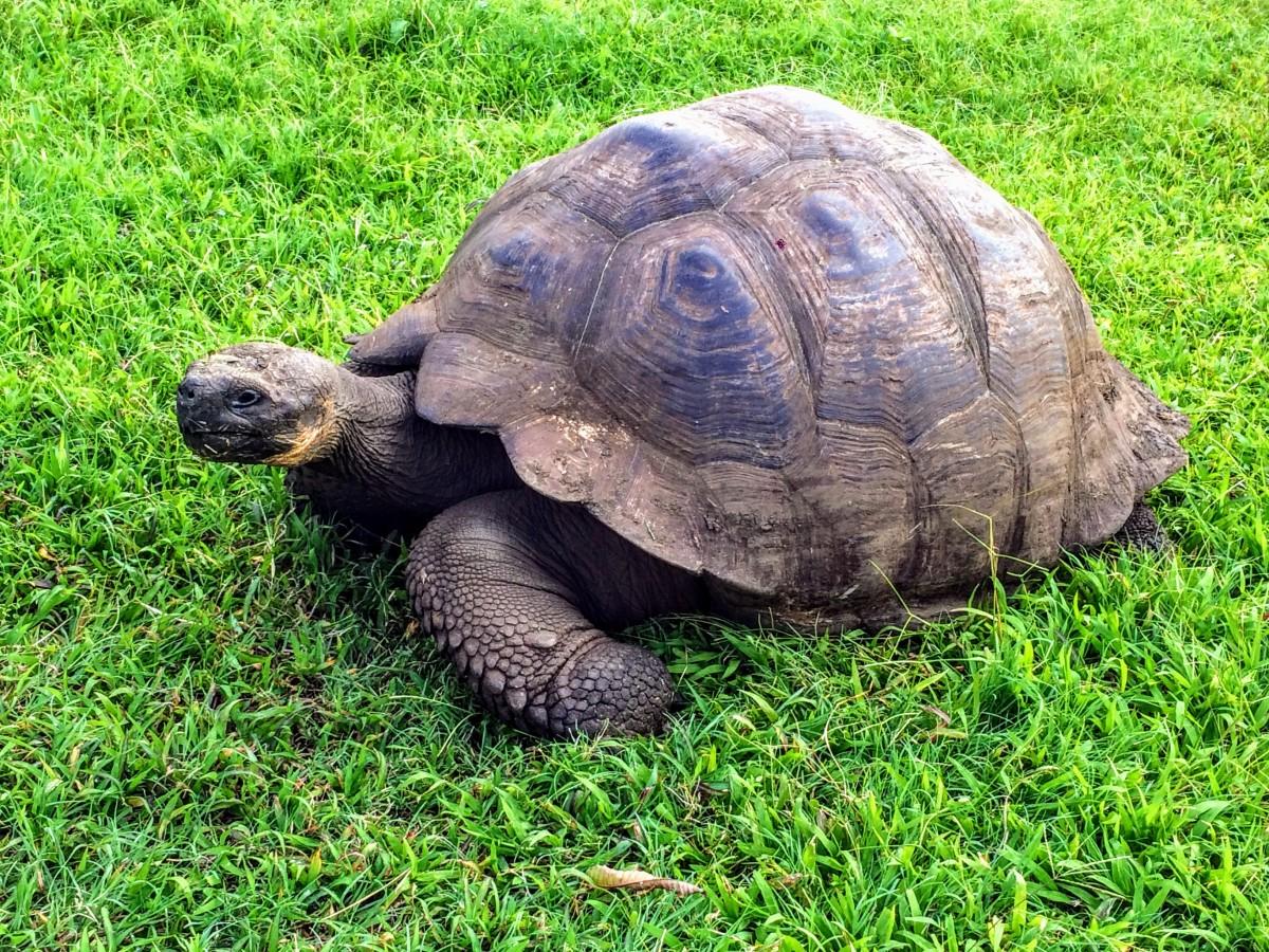 Tortoise in Galapagos