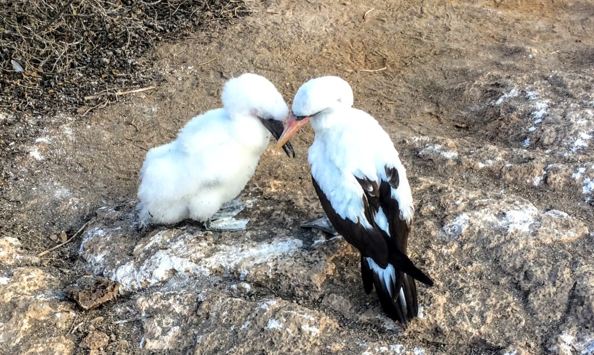 Baby boobies in Galapagos