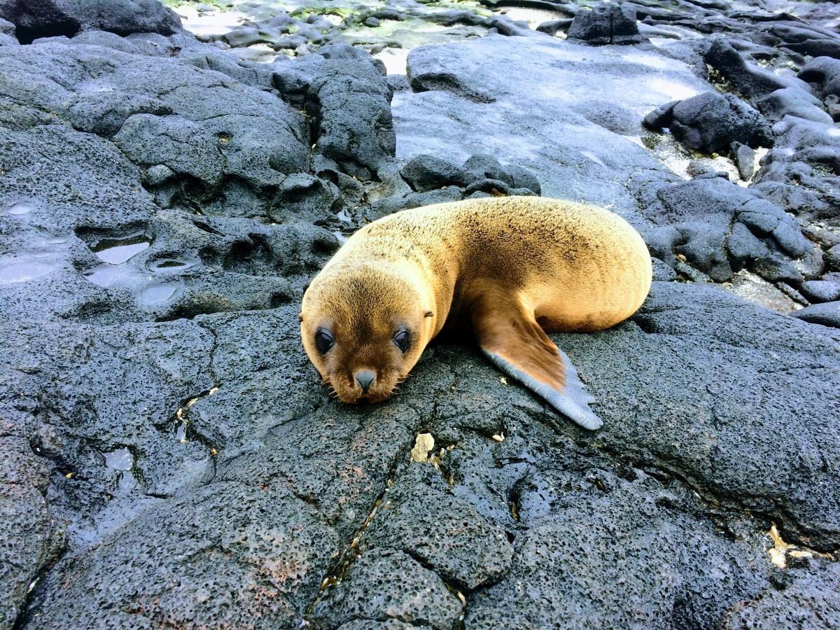Baby Sea Lion on Galapagos